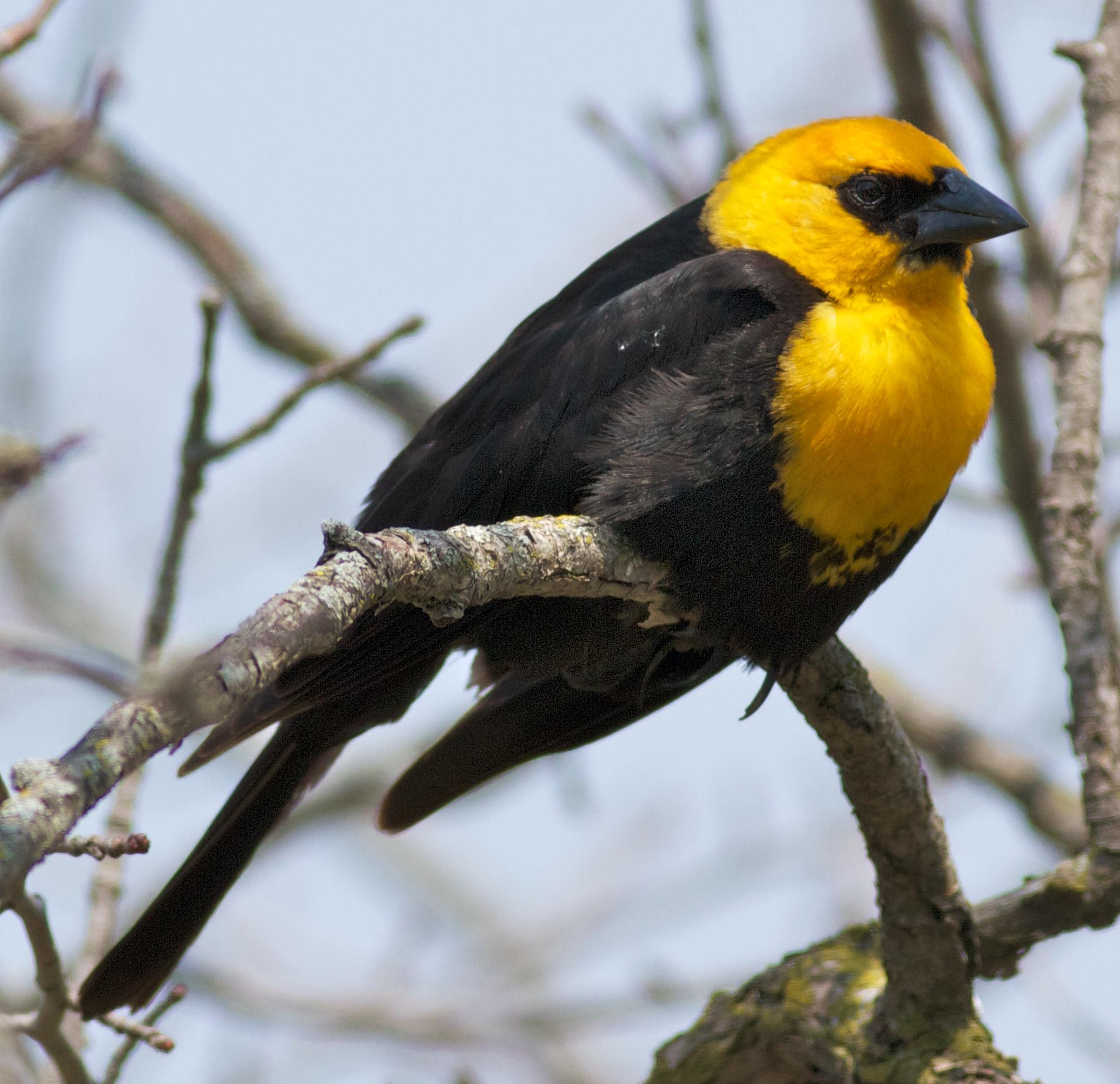 Blackbirds of Paradise - Blackbirds of Paradise