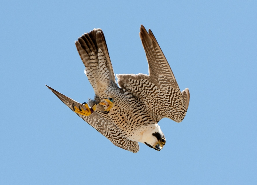 Peregrine Falcon Diving Zoology Division Of Birds