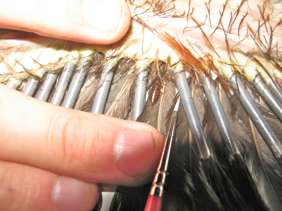 Rare Birds Of Paradise Hoatzin feather louse ...
