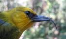 'Akiapola'au (Hemignathus munroi)