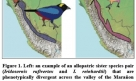 Iridisornis Tanagers and their distributions acrossthe Maranon River Valley