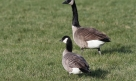 Cackling Goose (Branta hutchinsii) with Canada Goose (B. canadensis)
