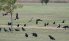 Cooper's Hawk (Accipiter cooperi) and American Crow (Corvus brachyrynchos)