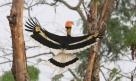 Great Hornbill (Buceros bicornis)