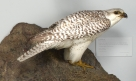 Birds of North America: Hawks and Falcons, Gyrfalcon (Falco rusticllis)