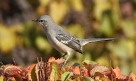 Northern Mockingbird (Mimus polyglottos)