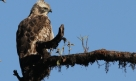 Mountain Hawk Eagle (Nisaetus nipalense)