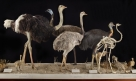Birds of the World: Ostrich, Rhea, Emu and Allies. Photo by J. Weinstein.