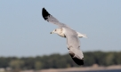 Ring-billed Gull (Larus delewarensis)