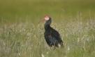 Southern Bald Ibis (Geronticus calvus)