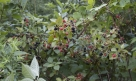 Blackberry (Rhubus)