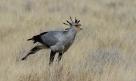 Secretarybird (Sagittarius serpentius)